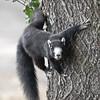 carolina squirrel