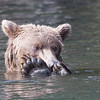 Grizzly Bear, counting toes