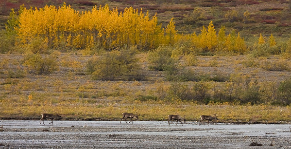 Caribou beneath a stand of Alders, Denali National Park
