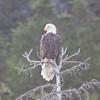 Bald Eagle<br /> Redoubt Bay, Alaska