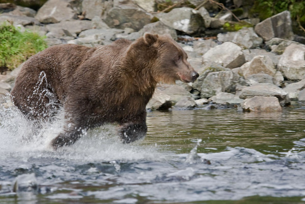Grizzly about to pounce on school of salmon.