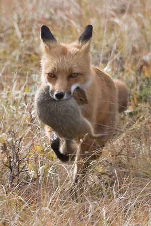 Red Fox, with Arctic Ground Squirrel, Denali National Park