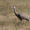 Sandhill Crane, Creamer's Field Refuge, Fairbanks