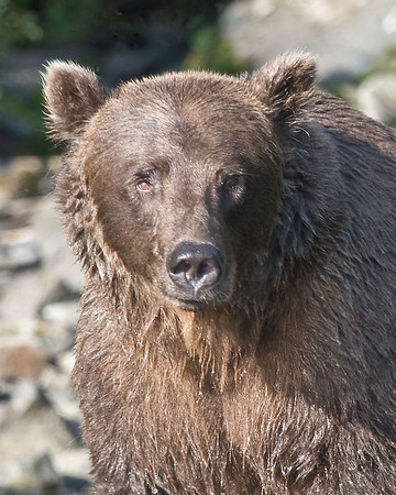 Here's looking at you!<br /> Grizzly bear<br /> Redoubt Bay, Alaska