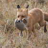 Red Fox with prey, Denali National Park