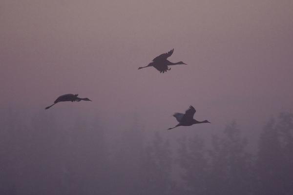 Pre-dawn arrival, Sandhill Cranes<br /> Creamer's Field Refuge<br /> Fairbanks, Alaska