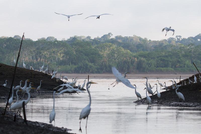 65 Egrets