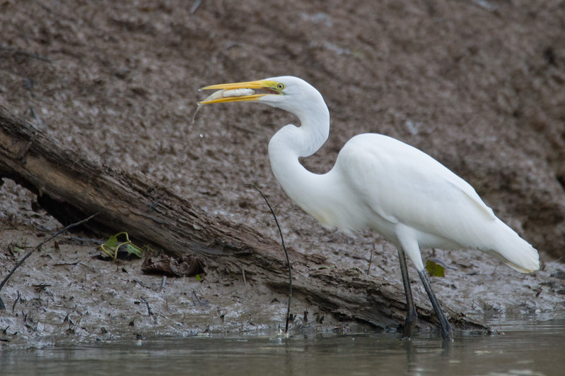 Dinner for the Great Egret 1