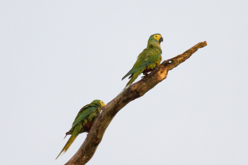 White Faced Parrots