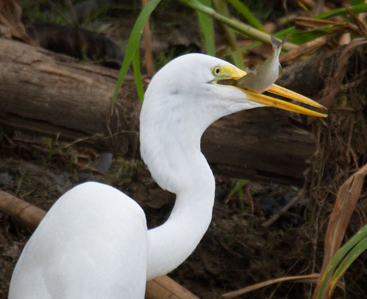 Dinner for the Great Egret 2