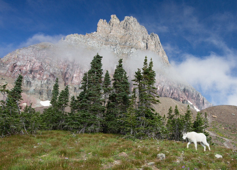 Mountain Goat, Clement Mountain, Glacier NP