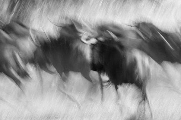 Wildebeest abstraction