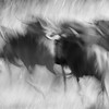 Wildebeest abstraction