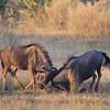 Wildebeest practicing