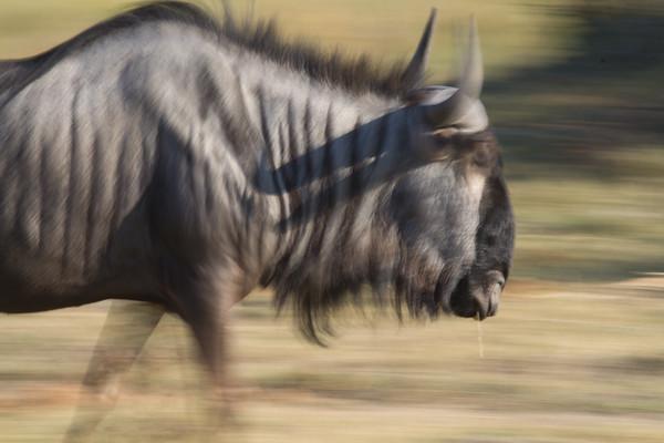 Wildebeest in motion