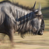 Wildebeest in motion