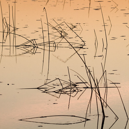 Reeds in the delta