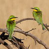 pair of Little Bee-eaters