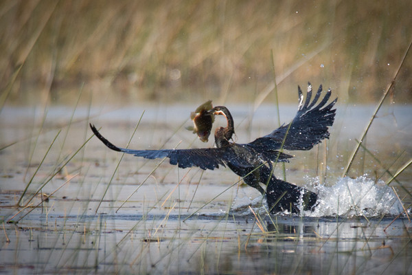 African Darter with tilapia