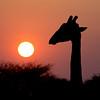 Giraffe silhouette at sunset
