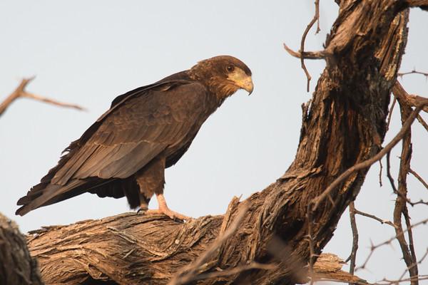 Tawny Eagle (?)