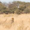 Lion stalking zebra