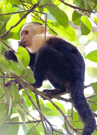 Whitefaced Monkey