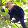 Whitefaced Monkey