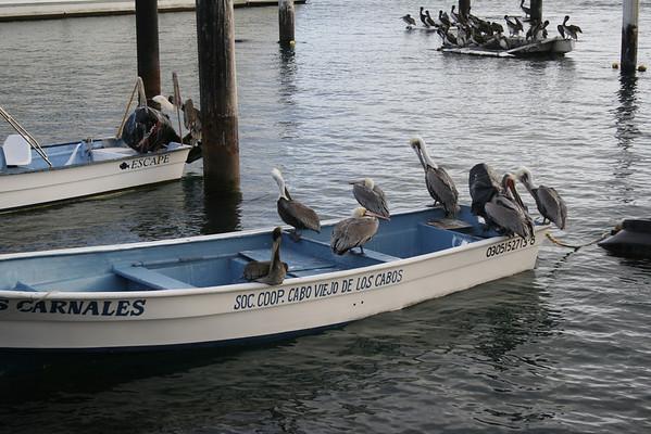 Pelicans, Cabo San Lucas