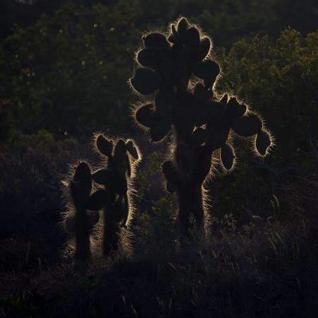 Opuntia Cactus, backlit