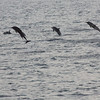 Common Dolphins, putting on a show