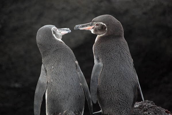 Galapagos penguins mate for life