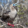 Red Footed Boobie, speaking
