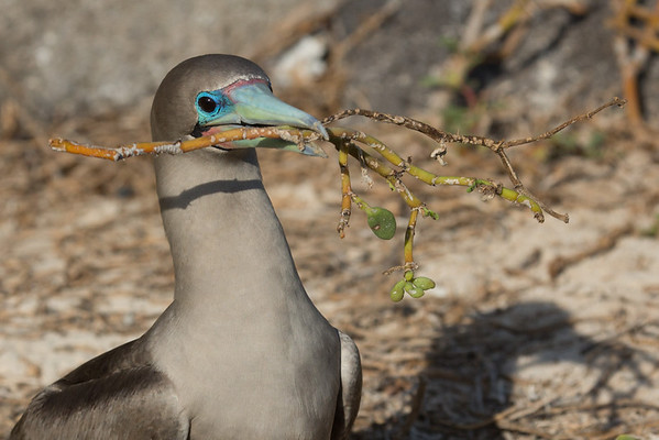 Red Footed Booby, nest building
