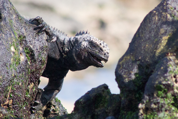 Marine Iguana <br /> Photo by Joy Schwartz