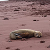 young sea lion, Rabida Island