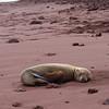 young sea lion, Rabida Island