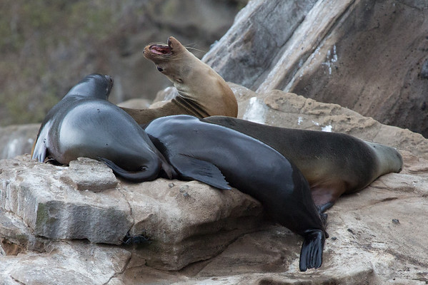 Sea Lions on the rocks