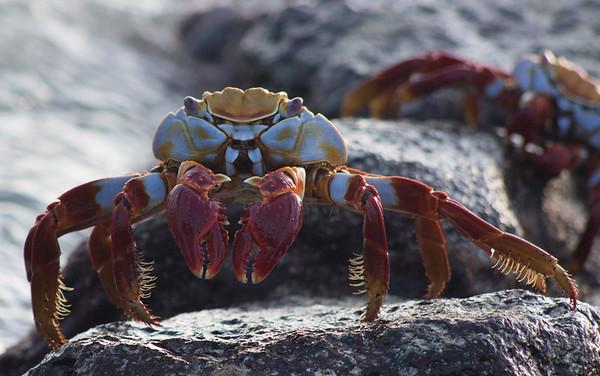 Sally Lighfoot Crab