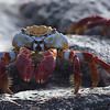 Sally Lighfoot Crab