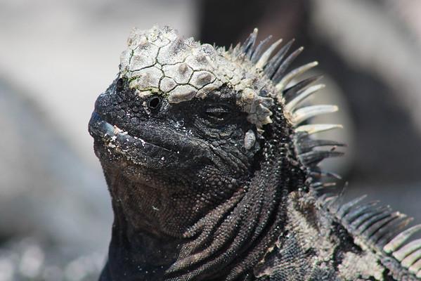 Smirking Marine Iguana<br /> Photo by Joy Schwartz