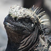 Smirking Marine Iguana<br /> Photo by Joy Schwartz
