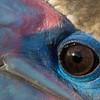 Booby Eye