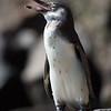 Galapagos Pengiun