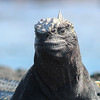Marine Iguana<br /> Photo by Joy Schwartz