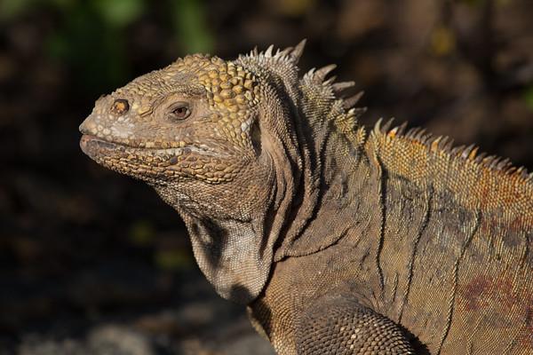 Land Iguana profile