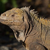 Land Iguana profile