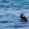 Sea Lion, singing