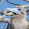 Red Footed Booby, posing