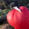 Frigatebird, with full gular sac